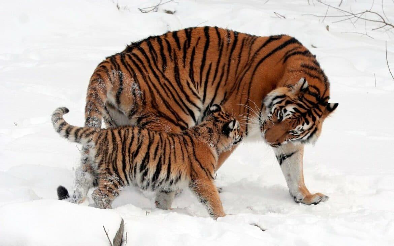 Сколько осталось амурских тигров?